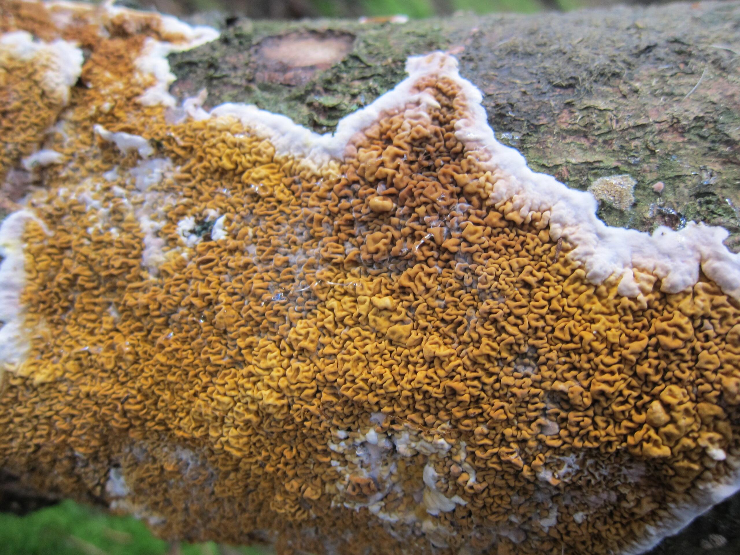 Stunning_beauty_this_rare_mushroom_Serpula_himantioides_(no_GB_name,_D=_Wilder_Hausschwamm,_NL=_Dakloze_huiszwam)_at_Hoge_Veluwe_NP_-_panoramio